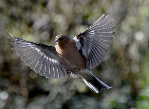 chaffinch wings