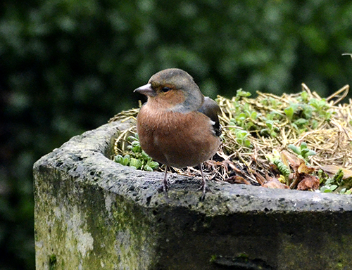 chaffinch considering options