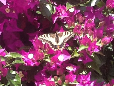 spanish butterfly