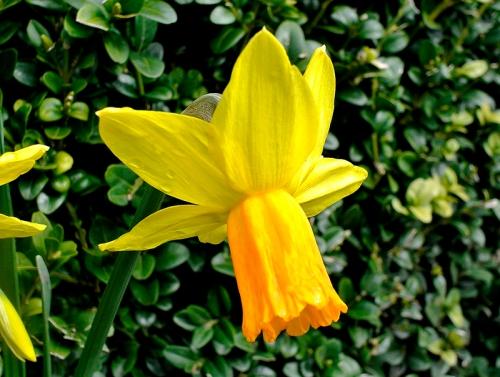 Jet Fire daffodils