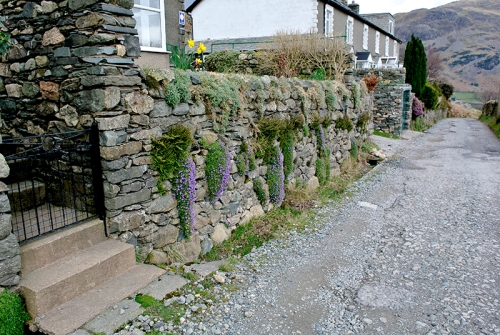 aubretia at Glenridding