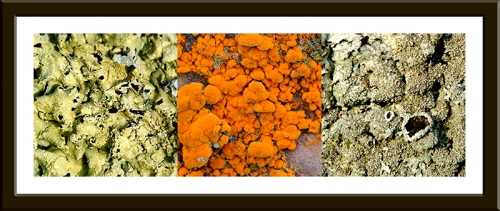 lichens and algae