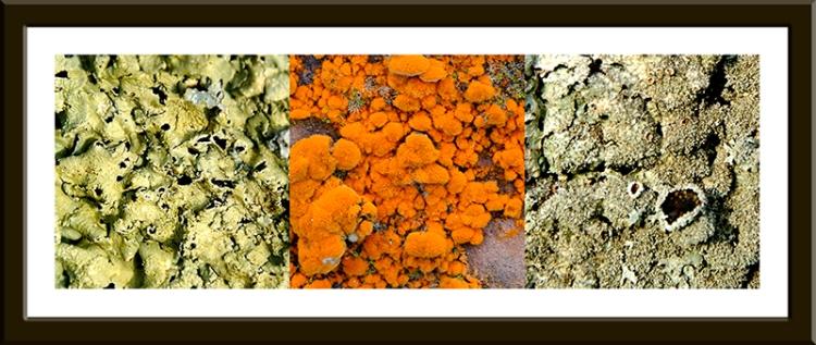 lichens and algae