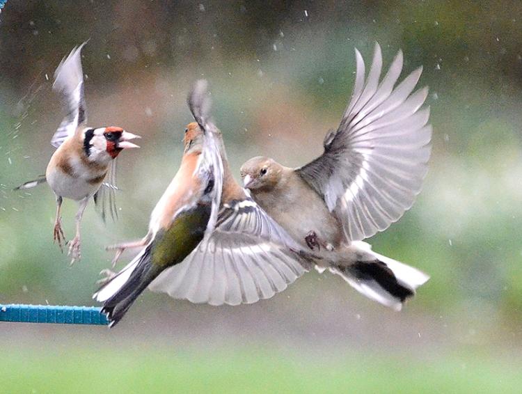 goldfinch shouting