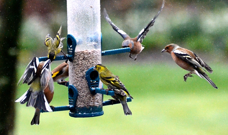 siskins and chaffinches