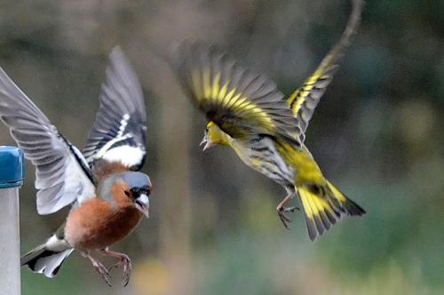 pair of flying birds