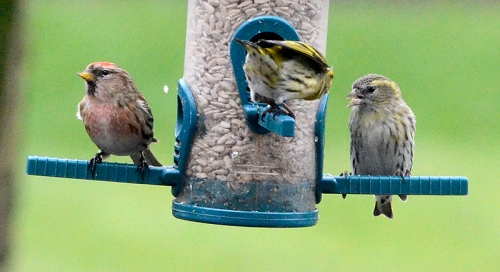 redpoll and siskins