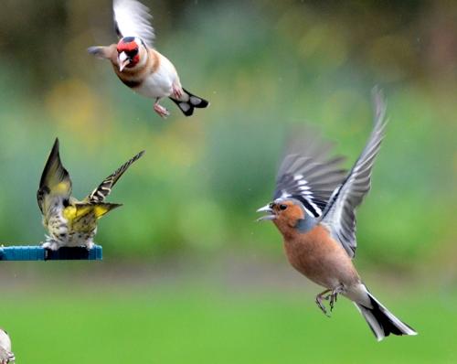 goldfinch, chaffinch, siskin