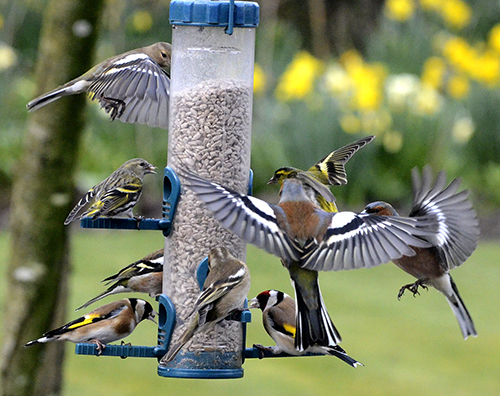 chaffinch. goldfinch and siskin