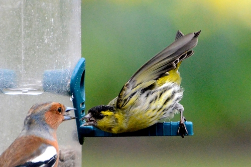 siskin and chaffinch shouting