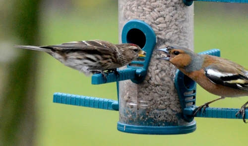 chaffinch and redpoll