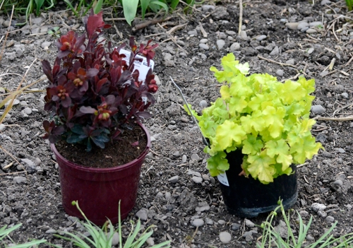 euphorbia and heuchera
