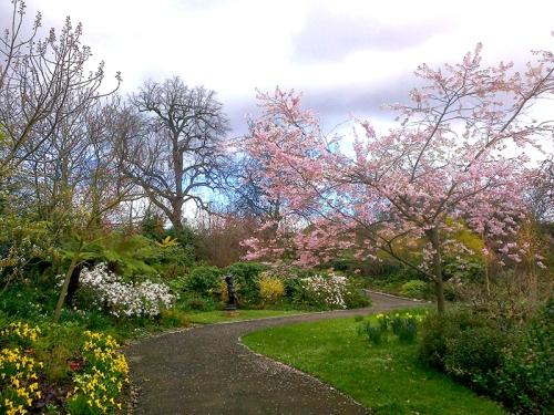 blossom in Regent's Park