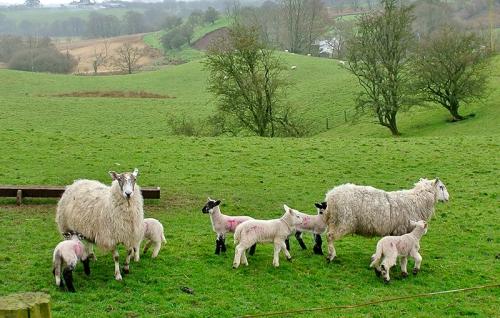 Barnglieshead lambs