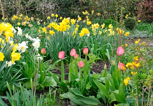 tulips and daffs