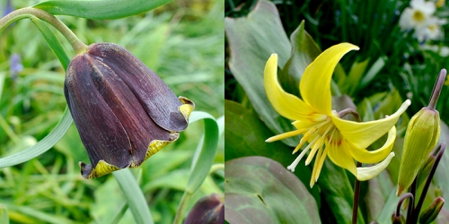 A new fritillary and a dog tooth violet