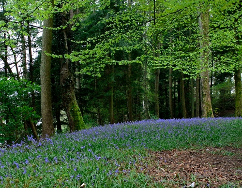 bluebells at Holmwood