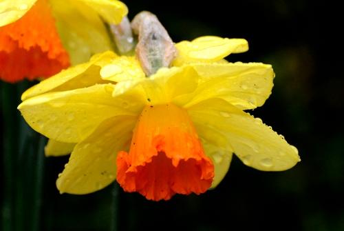 bedraggled daffodil