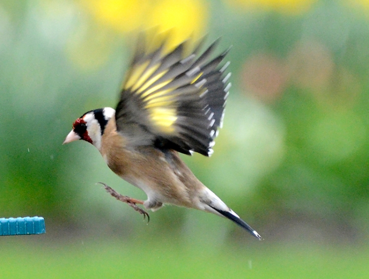 goldfinch arriving
