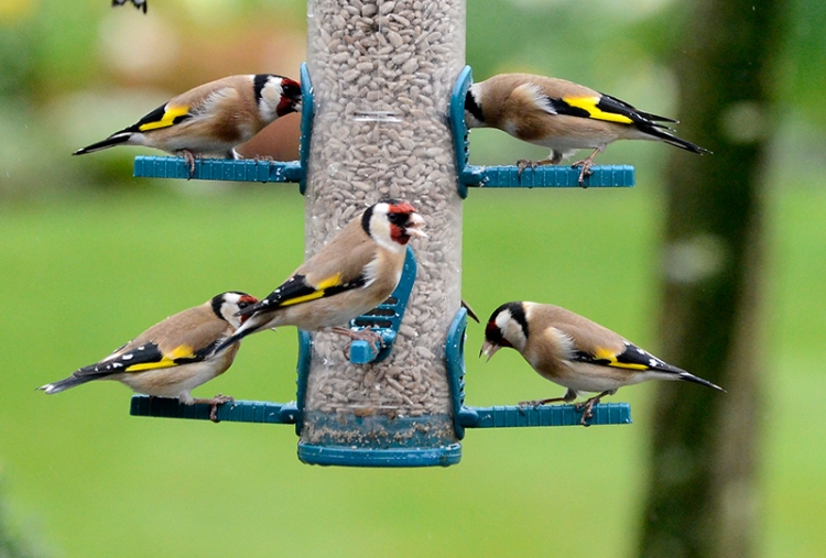 Goldfinch full house