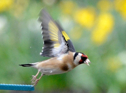 goldfinch leaving