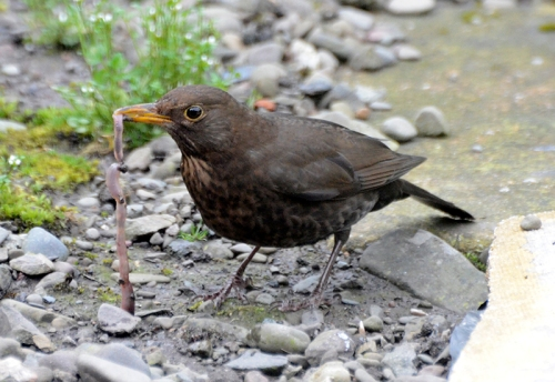 blackbird with worm