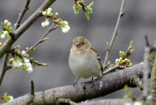 a ca chaffinch and plum blossom