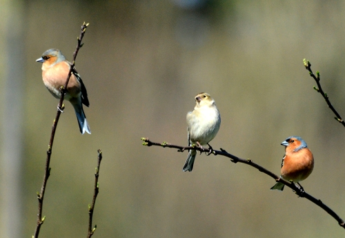 three chaffinches