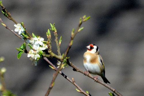 goldfinch in plum tree