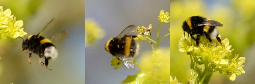 bees on lime trees