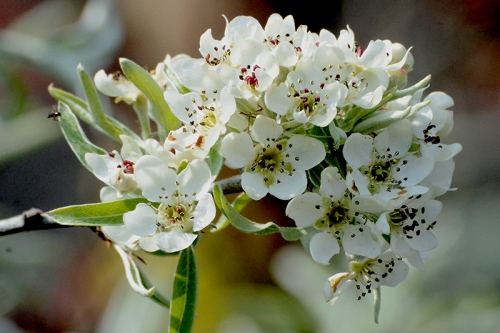 Silver pear blossom