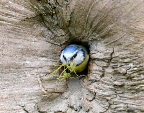 blue tit at nuthatch nest