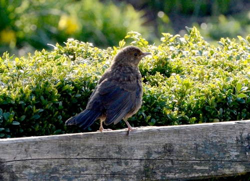 blackbird on bench