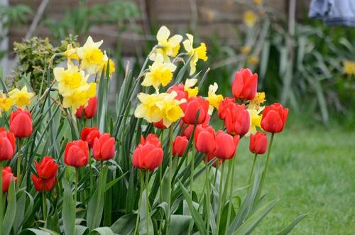 tulip and daff