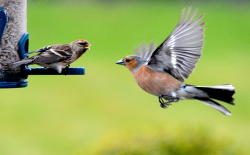 redpoll and chaffinch