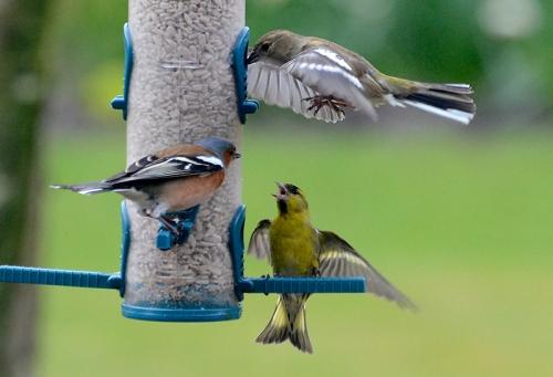 chaffinch pecking