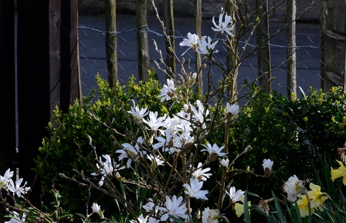 magnolia by the front gate