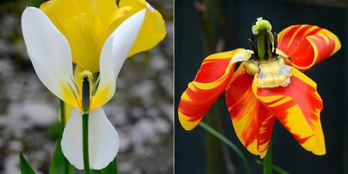 faded tulips