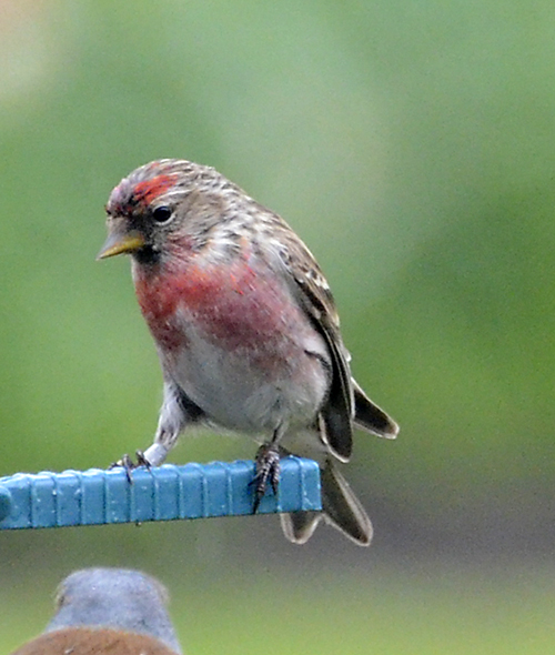 a ringed redpoll