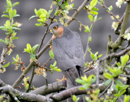 sparrowhawk April 2014