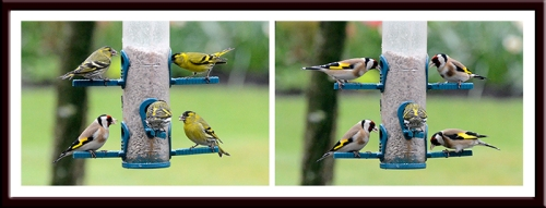 siskins and goldfinches