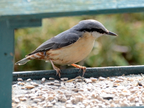 nuthatch at whitaside