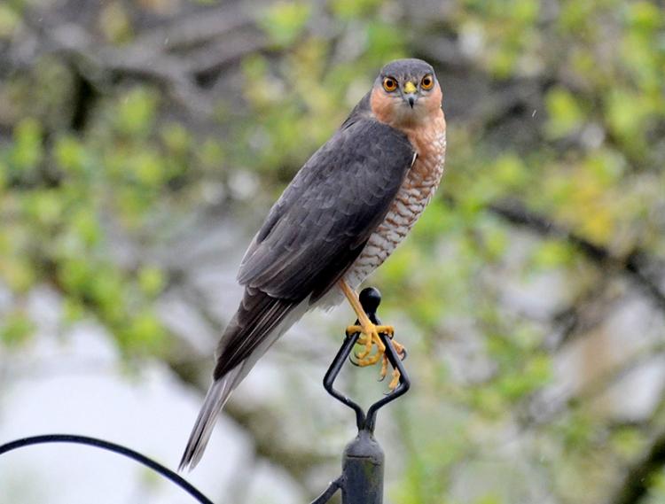 sparrowhawk April 2014