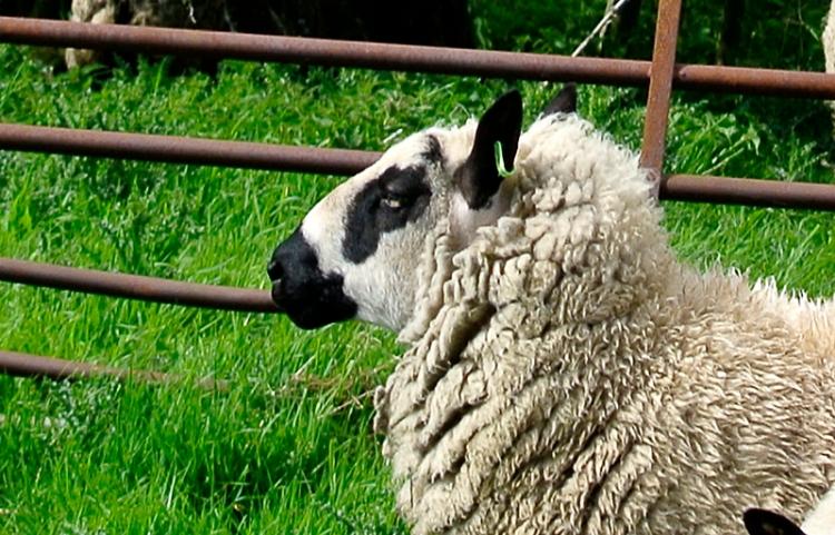sheep at Penton