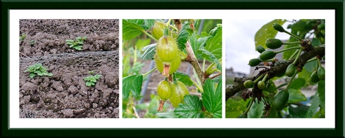 pots, gooseberries and plums
