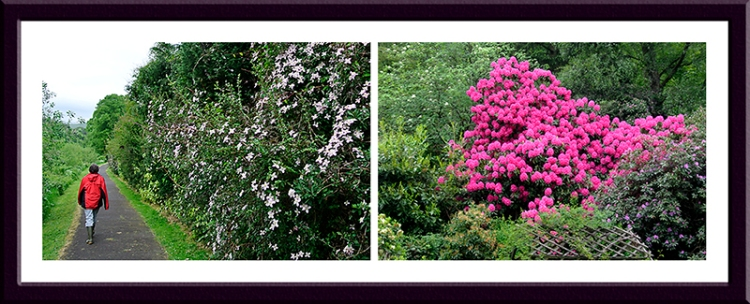 A clematis shielding the sewage works from view and a fine rhododendron beside the A7