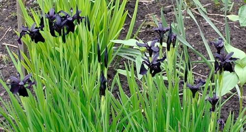 dark irises