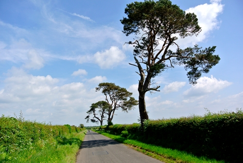 Longtown pines