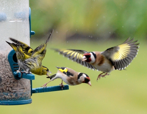 goldfinches and siskin