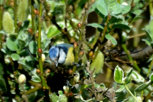 blue tit in willow